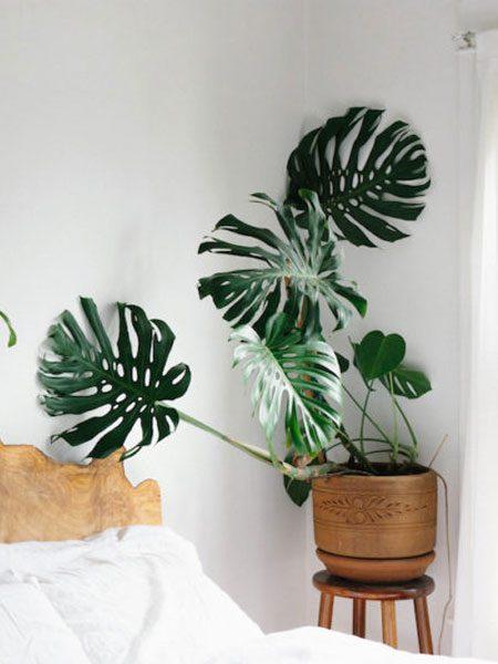 Monstera Deliciosa Plant Interiors