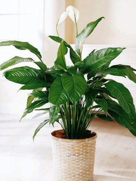 Peace Lily Interior Style