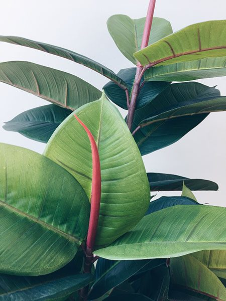Rubber Plant Artificial