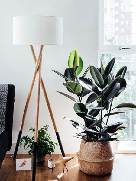 Rubber Plant Styling Interiors